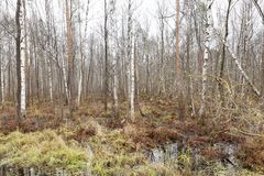 Marshland with birches. In the autumn season, photo in cloudy weather without sunlight stock photos