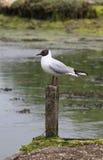 Marshland Bird on wooden post Stock Images
