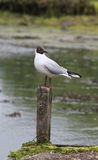 Marshland Bird on wooden post Stock Photo