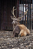 Marshland deer1. Marshland deer in the ZOO Bor Serbia royalty free stock image