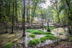 Marshland. A Marshland within a forest royalty free stock photos