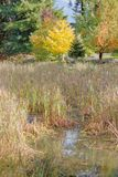 Marshland and Ginkgo Tree. Wide, vertical view of marshland and a golden yellow Ginkgo tree in the background during the autumn months royalty free stock image