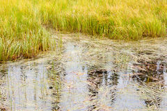 Marshland grass sedges background texture pattern Royalty Free Stock Photo