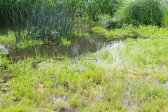 Marshland with green reeds in water Stock Photos