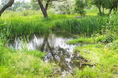 Marshland with green reeds in water Stock Images