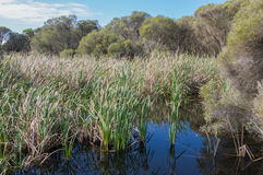 Marshland at Herdsman Lake. Marshland with tall densely packed reeds and grasses in the lush wetland reserve at Herdsman Lake under a blue sky with clouds in stock photos