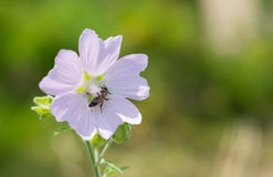 Marshmallow & x28;Althaea officinalis& x29;. Marshmallow Althaea officinalis and bee that collects pollen and honey Royalty Free Stock Photography