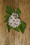 Marshmallow Althaea officinalis. Blossom of marshmallow. Marsh mallow macro flower stock image
