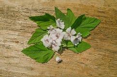 Marshmallow Althaea officinalis. Blossom of marshmallow. Marsh mallow macro flower royalty free stock photography