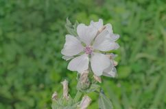 Marsh mallow flower. Marshmallow Althaea officinalis flower. Common marshmallow in field Royalty Free Stock Image
