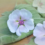 Marshmallow. Althaea officinalis. Flowers and leafs on a wooden table. Marsh Mallow royalty free stock photography