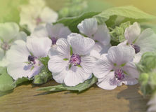 Marshmallow Althaea officinalis. Flowers and leafs on a wooden table. Marsh Mallow stock photos