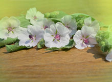 Marshmallow Althaea officinalis Royalty Free Stock Image