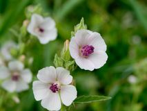 Marshmallow (Althaea officinalis). Royalty Free Stock Photo