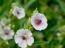 Marshmallow (Althaea officinalis). Royalty Free Stock Photo