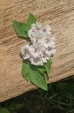 Marshmallow Althaea officinalis. Wooden board and common marsh mallow.Marshmallow Althaea officinalis flower Stock Photo