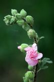 Marshmallow Flower. Wild Marshmallow Flower (althaea officinalis Royalty Free Stock Images
