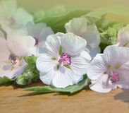 Marshmallow flower. Althaea Stock Images