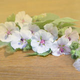 Marshmallow flower. Althaea. Marshmallow Althaea officinalis. Marsh Mallow white flower stock photos