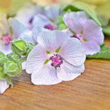 Marshmallow flower. Althaea Stock Photos