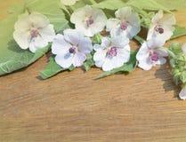Marshmallow flower. Althaea. Marshmallow Althaea officinalis. Marsh Mallow wildflower background stock photography
