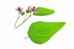 Marshmallow plant. Marshmallow (Althaea officinalis) flowers and leaves against a white background Stock Photo