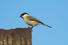 Marshtit Royalty Free Stock Photos