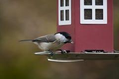 Marshtit. Feeding from bird feeder Stock Image