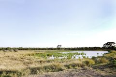 Marshy area and water hole in the grassland of Ol Pejeta Conservancy, Kenya. The Ol Pejeta Conservancy is wildlife conservancy in the Laikipia district Royalty Free Stock Image