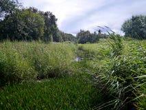 In marshy area of wetland. Water being overtaken by reeds Stock Photo