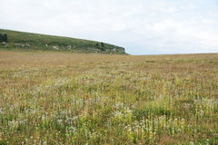 Marshy grassland. The white wild flowers are blooming in mountain marshy grassland stock photo