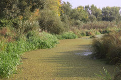 The marshy river Royalty Free Stock Photography