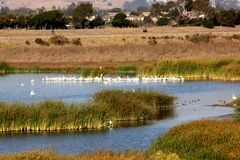 Marshy salt ponds in Coyote Hills Regional Park, Fremont, California. Frequented by Snowy egret, ducks and other water birds, supporting rushes, cattails and Stock Photography