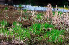 Marshy weeds Royalty Free Stock Images