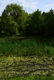 Marshy wetland landscape with willows, cane and other water plants during spring season in central Europe. Arboretum Mlynany Slovakia royalty free stock photos