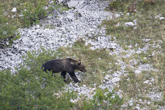 Marsican brown bear walking in Abruzzo mountains Royalty Free Stock Images
