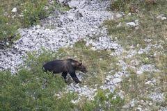 Marsican brunbjörn som går i Abruzzo berg Royaltyfria Bilder