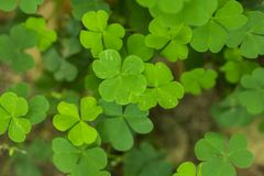 Marsilea crenata is a fern species in nature. Common in Southeast Asia royalty free stock photo