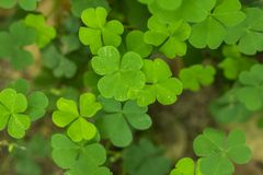 Marsilea crenata is a fern species in nature. stock photography