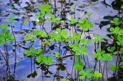 Marsilea crenata have droplet on water floor. Marsilea crenata Water Clover, Water Shamrock have droplet on water floor . Beautiful nature background stock photo