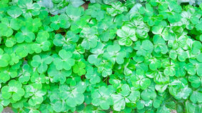 Marsilea crenata. Is a kind of fern family royalty free stock photos