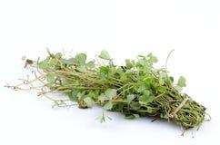 Marsilea crenata. Local Vegetables of Thailand Marsilea crenata With medicinal properties royalty free stock photos