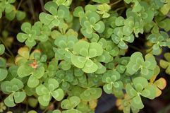 Marsilea crenata plant. Fresh green marsilea crenata plant in nature garden royalty free stock photo