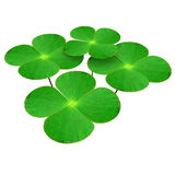 Marsilea. Is a genus of approximately 65 species of aquatic ferns of the family ceae royalty free stock photos
