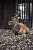 Marsklan deer2 Royaltyfria Foton