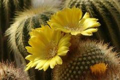Marsoneri de Rebutia en flor Foto de archivo libre de regalías