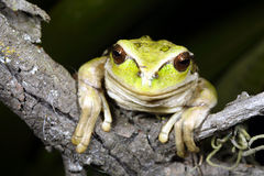 Marsupial frog Royalty Free Stock Photography