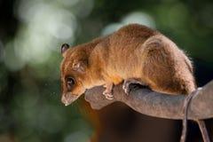 Marsupial nomeado   Foto de Stock Royalty Free