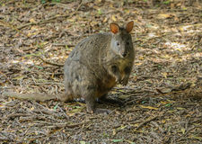 Marsupial pequeno de Pademelon Fotografia de Stock