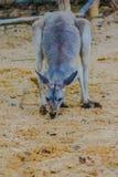 Marsupiale del canguro dall'animale del mammifero del Macropodidae della famiglia a Fotografie Stock